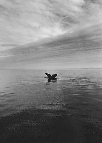 Sebastiao Salgado (Brazil, 1944). At times, only the tails of the southern right whales (Eubalena Australis) are visible. Valdés Peninsula. Argentina, 2004.  Photograph, Black and white print